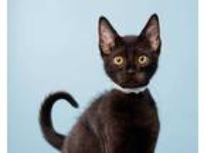 Adopt ROLFE a All Black Domestic Shorthair / Mixed (short coat) cat in San