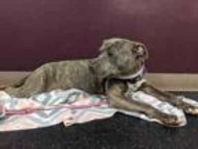Adopt Lilo a Gray/Blue/Silver/Salt & Pepper American Pit Bull Terrier / Mixed