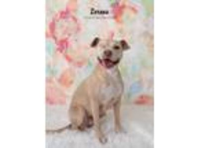 Adopt Lorena a Tan/Yellow/Fawn - with White Labrador Retriever / Staffordshire