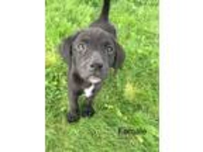 Adopt Emma a Black - with White Labrador Retriever dog in Norristown