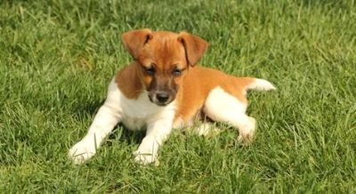 AKC registered Jack Russell Puppies