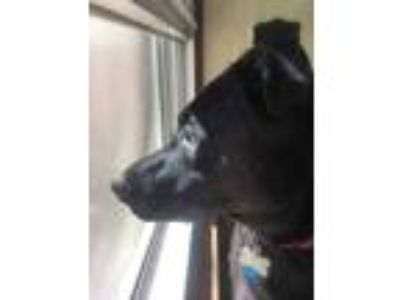 Adopt Buffy a Black Retriever (Unknown Type) / Mixed dog in West Allis