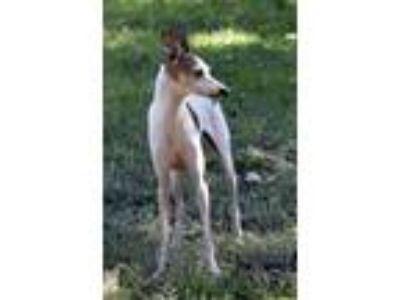 Adopt Webster TX60 a Red/Golden/Orange/Chestnut - with White Italian Greyhound /