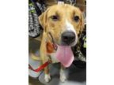 Adopt Captain a Tan/Yellow/Fawn - with White Anatolian Shepherd / Labrador