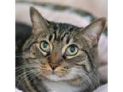 Adopt Zeno a Domestic Shorthair / Mixed cat in Rancho Santa Fe, CA (25881059)