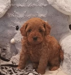 Lovely F1 Mini goldendoodle puppies available