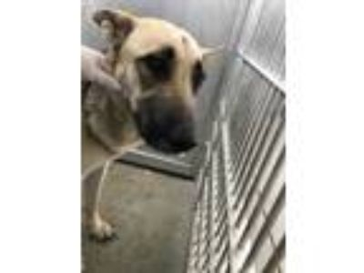 Adopt Maya a Tan/Yellow/Fawn German Shepherd Dog / Mixed dog in Fort Worth