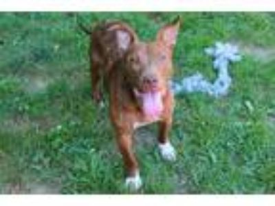 Adopt TILDA a Brown/Chocolate - with White American Pit Bull Terrier / Mixed dog