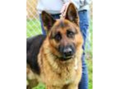 Adopt Roo a Red/Golden/Orange/Chestnut - with Black German Shepherd Dog / Mixed