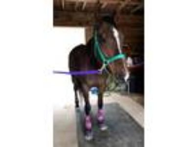 11 yr old OTTB Mare For On Farm Lease Only At Private Backyard Barn
