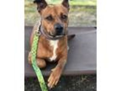 Adopt Coco a Boxer, Staffordshire Bull Terrier