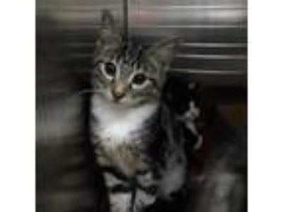 Adopt Yacht a Brown or Chocolate Domestic Shorthair cat in Lynchburg
