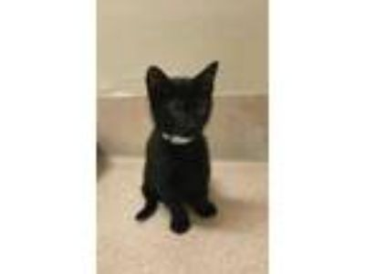 Adopt Ash 418-19 a All Black Domestic Shorthair / Domestic Shorthair / Mixed cat