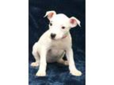 Adopt June a White Pit Bull Terrier / Mixed dog in Waldorf, MD (25805530)