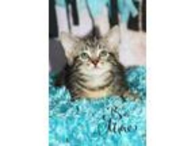 Adopt Kaliope a Domestic Short Hair