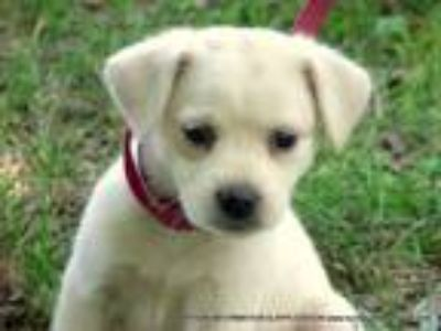 Adopt ANNIE/ADOPTED a White - with Red, Golden, Orange or Chestnut Border Collie