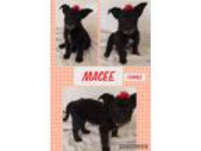 Adopt Macee meet 5/24 a Black - with Gray or Silver Shih Tzu / Mixed dog in East