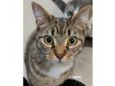 Adopt Mini a Tiger Striped Domestic Shorthair (short coat) cat in Newland