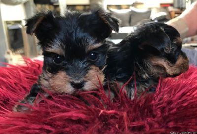 Pedigree Tiny Yorkshire Terrier Puppies