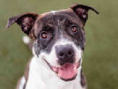 Adopt GEO a Brindle - with White American Pit Bull Terrier / Mixed dog in