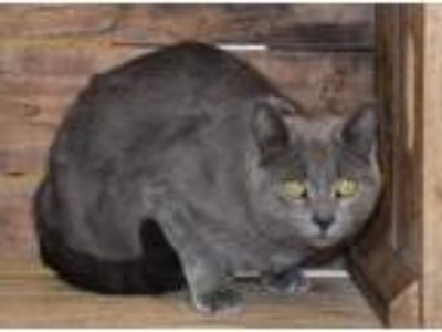 Adopt Angel a Domestic Shorthair / Mixed cat in Front Royal, VA (25361599)