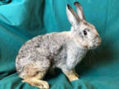 Adopt SABRINA a Agouti Rex / Mixed rabbit in Urbana, IL (25931256)