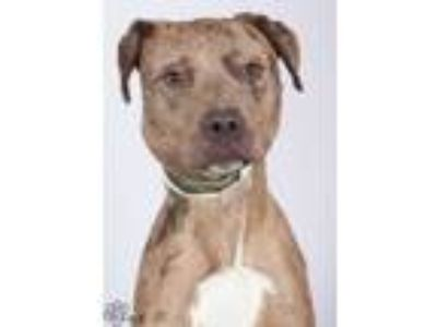 Adopt Hank a Brown/Chocolate Catahoula Leopard Dog / Labrador Retriever / Mixed