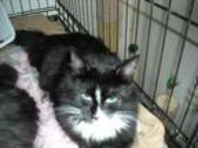 Adopt Pluto a Domestic Medium Hair