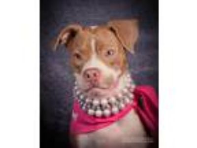 Adopt Melissa a American Pit Bull Terrier / Mixed dog in Germantown