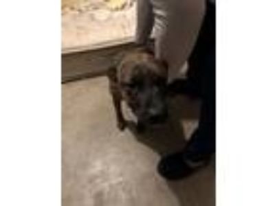 Adopt Molly a Brindle - with White Terrier (Unknown Type