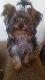 Yorkshire Terrier PUPPY FOR SALE ADN-94860 - 4 Month Teacup Yorkie for sale