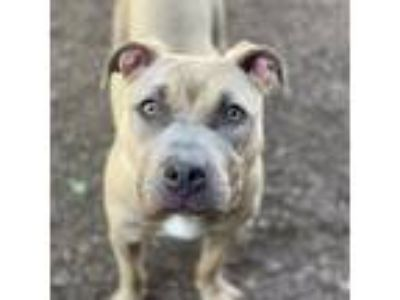 Adopt Daisy a Tan/Yellow/Fawn - with White Pit Bull Terrier / Mixed dog in
