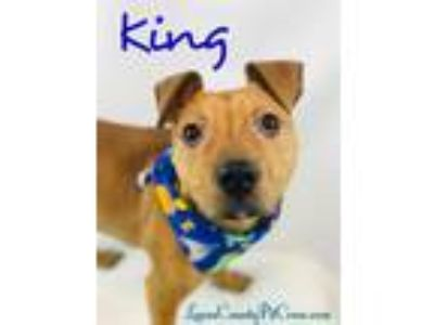 Adopt King a Tan/Yellow/Fawn - with White Pit Bull Terrier / Labrador Retriever