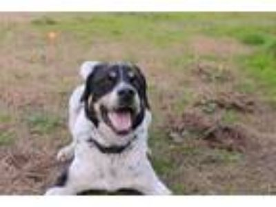 Adopt Rocky a White - with Black Border Collie / Labrador Retriever / Mixed dog