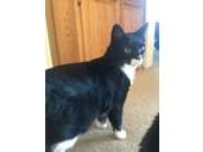 Adopt Fergus a Black & White or Tuxedo American Shorthair / Mixed cat in Peyton