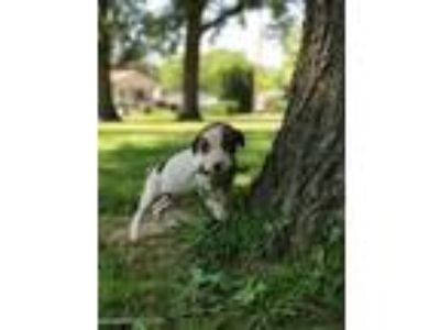 Adopt Teensy a White - with Brown or Chocolate American Pit Bull Terrier / Great