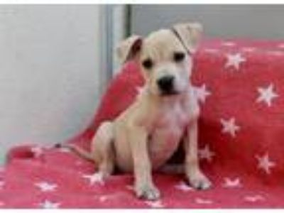 Adopt Missy Elliot a Tan/Yellow/Fawn Pit Bull Terrier / Mixed dog in Los