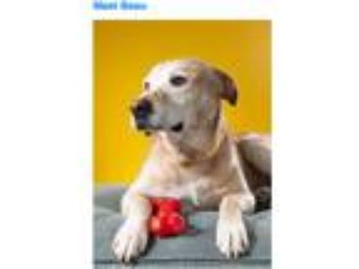 Adopt Beau a Tan/Yellow/Fawn Labrador Retriever / Mixed dog in Bardonia