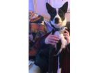 Adopt Doug Ross a Border Collie
