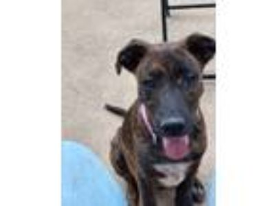 Adopt Luna a Brown/Chocolate - with Black Labrador Retriever / Pharaoh Hound /