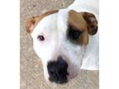 Adopt Liam a Hound, Pit Bull Terrier