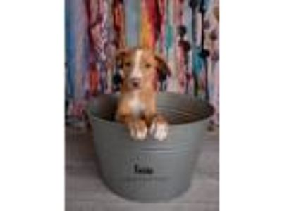 Adopt Foxie a Tan/Yellow/Fawn - with White Labrador Retriever / Mixed dog in