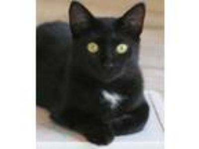 Adopt Hannah a Domestic Short Hair