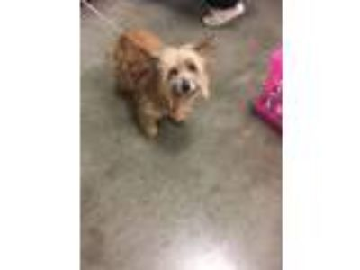 Adopt Zoey a Yorkshire Terrier