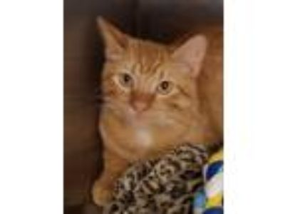 Adopt Jack a Orange or Red (Mostly) Domestic Shorthair / Mixed (short coat) cat