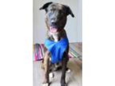 Adopt James a Brown/Chocolate Catahoula Leopard Dog / Shepherd (Unknown Type) /