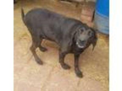 Adopt Razzle a Labrador Retriever