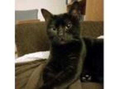 Adopt Dutch Chocolate a Domestic Short Hair