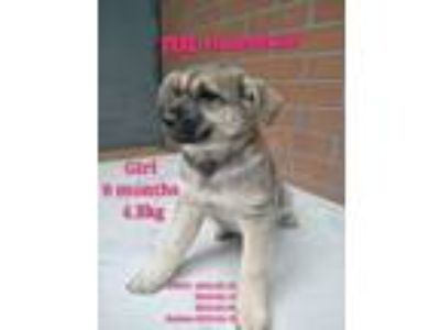 Adopt HuanHuan a Brindle - with White Shepherd (Unknown Type) / Akita / Mixed