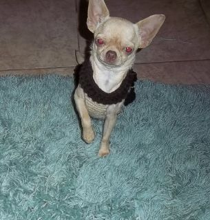 Beautiful Young Adult Female Chihuahua Gia